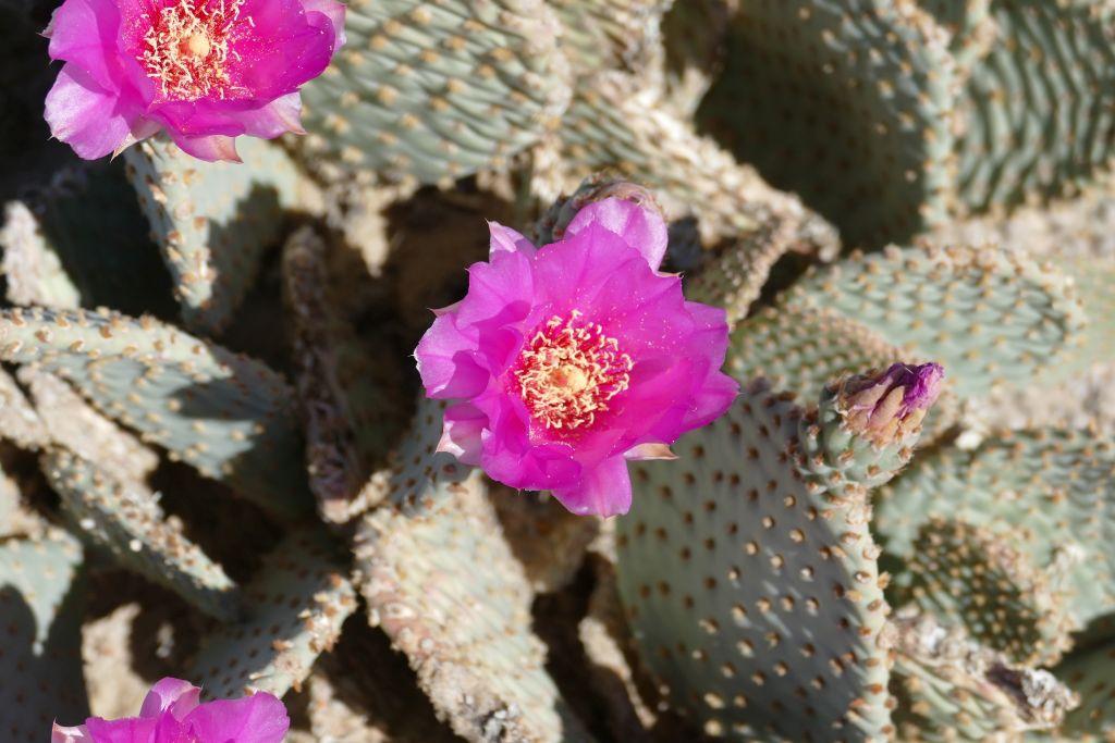 Blühender Kaktus 2