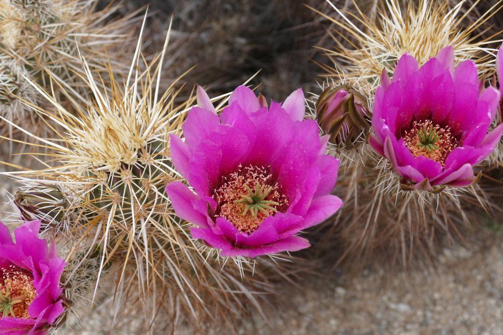 Blühender Kaktus 4