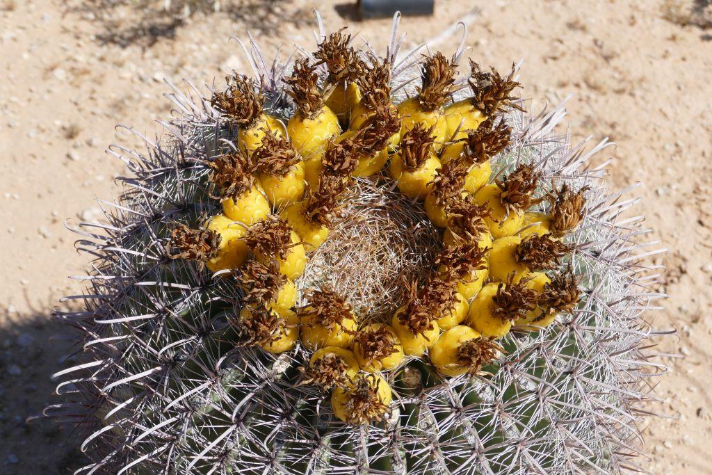 Blühender Kaktus 7