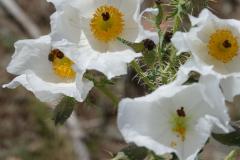 Wüstenblume Distelblüte 2