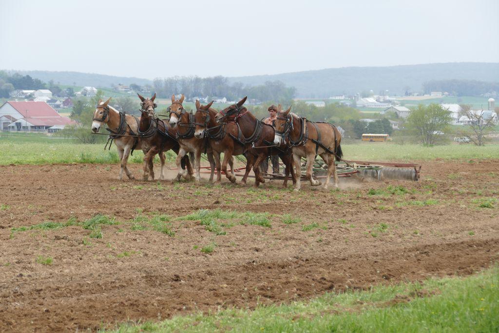 Amish mit Pferden am Arbeiten 2