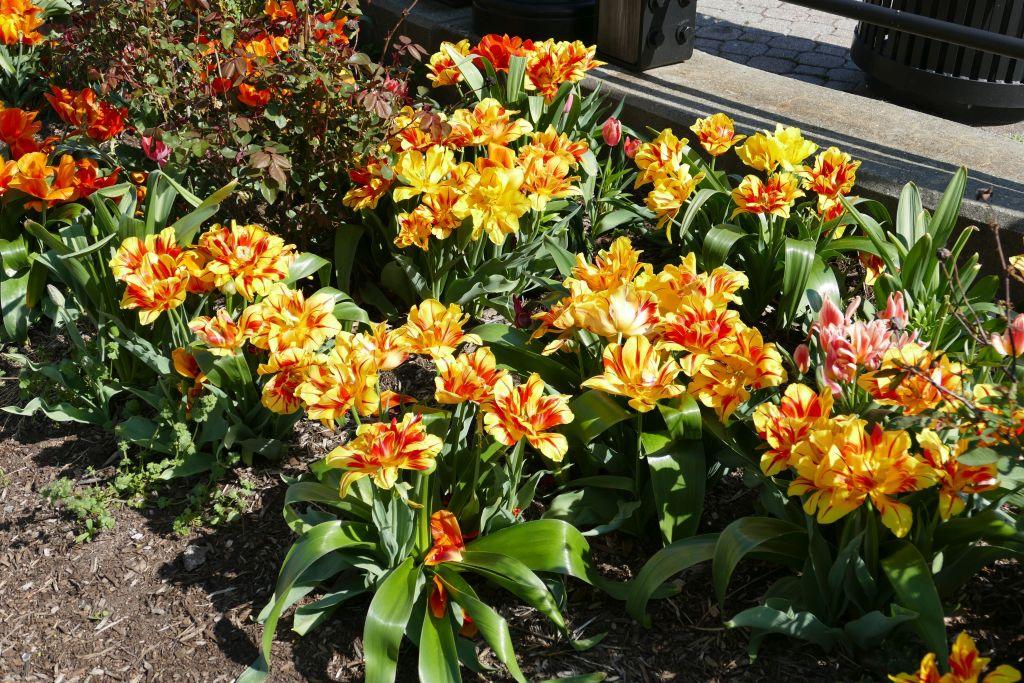 New Jersey Tulpen 1