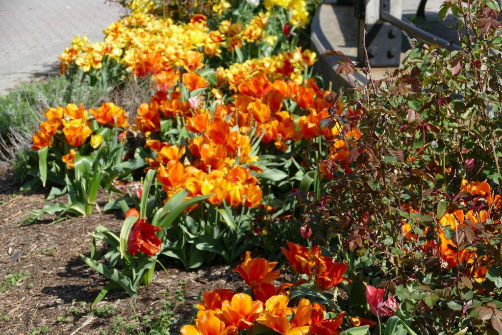 New Jersey Tulpen 2