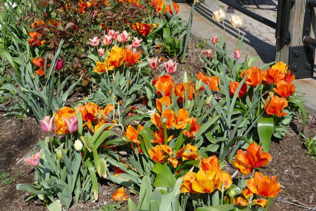 New Jersey Tulpen 3