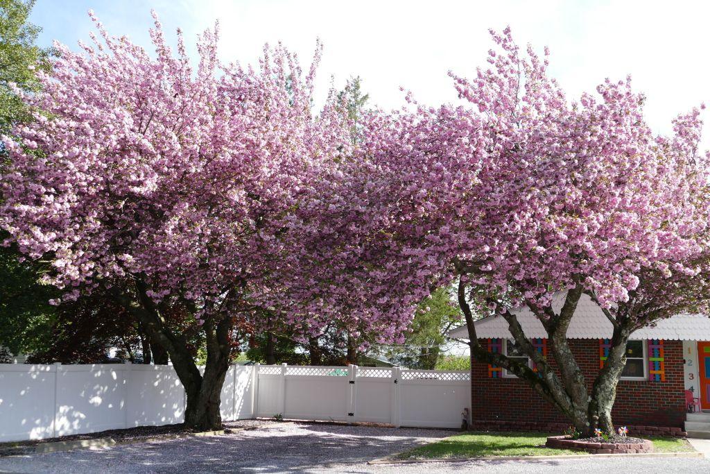 New Jersey rosa blühende Bäume