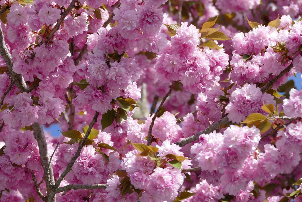 New Jersey rosa blühende Bäume 2