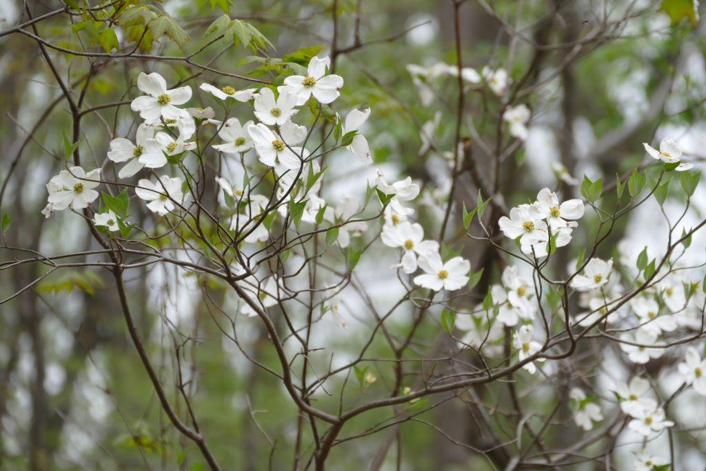 New Jersey weisse Blühten von Dogwood Bäumen