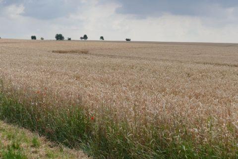 Endelose Weizenfelder